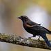 Red-winged Blackbird-41373.jpg
