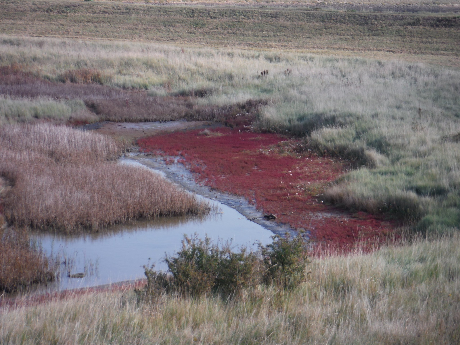 Red Samphire, off seawall on River Crouch SWC Walk 162 North Fambridge to Burnham-on-Crouch