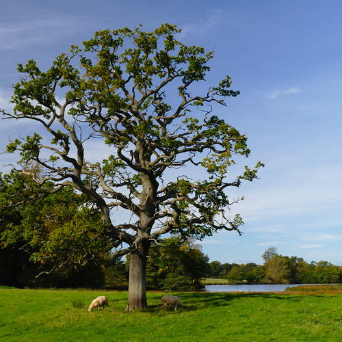 Sheep grazing under oak tree