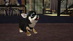 """Introducing """"Manuel"""" The Micro Chihuahua"""