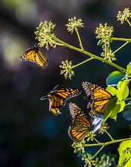 Monarch butterfly #01