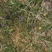 Small photo of Milkwort. Tormentil. Ben Hope. West Sutherland