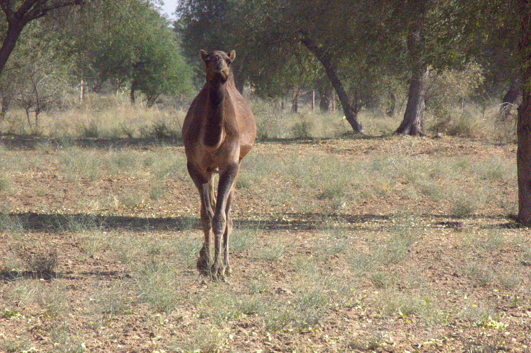 Camel at Salawas village