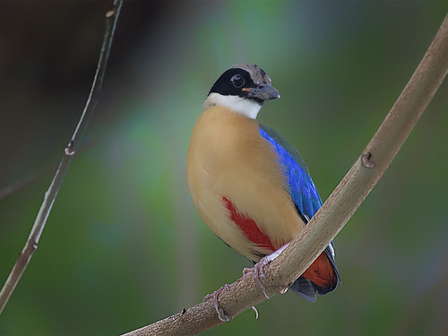 Blue-winged Pitta _ Hougang ☺☺