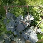 broccoli planting in Vege garden plot 2 by shiny