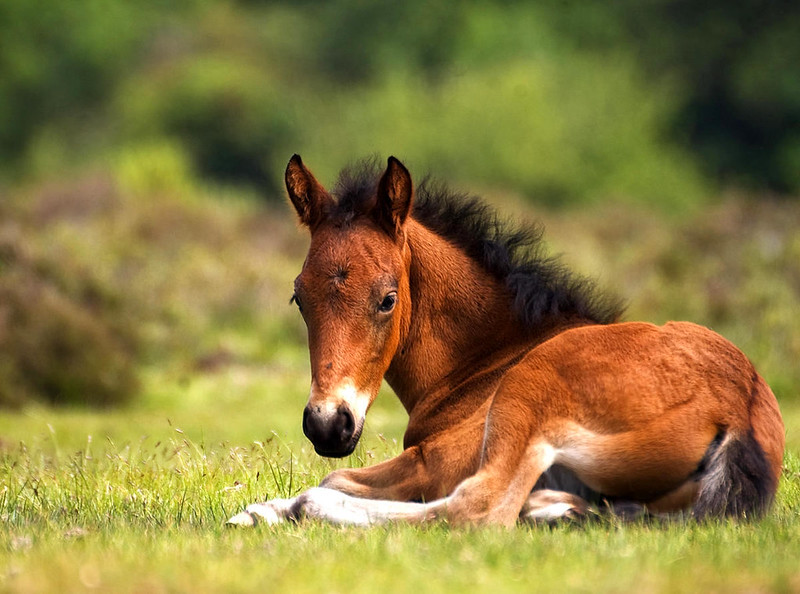 New Forest Pony Foal. Credit Stuart Webster, flickr
