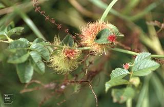 Robins pincushion Diplolois rosae. Young. Wick. September 1991