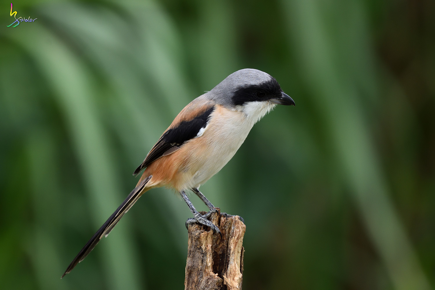 Long-tailed_Shrike_0768