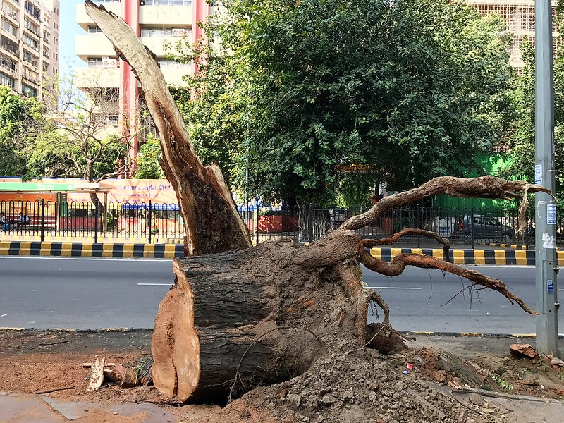 City Nature - The Tree People of KG Marg, Central Delhi