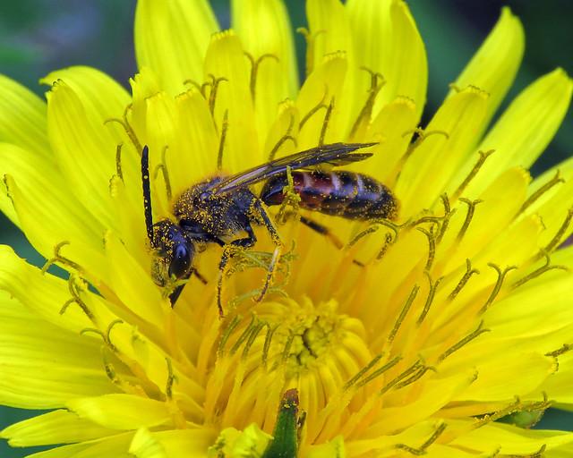 Slender Mining Bee - Lasioglossum calceatum