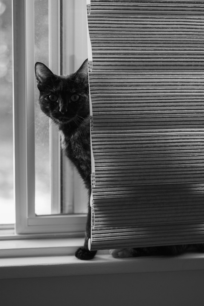 A black-and-white photo of our cat Trixie behind the blinds in one of our picture windows