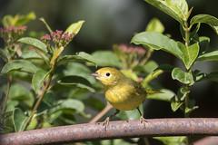 1DXB7014Yellow Warbler