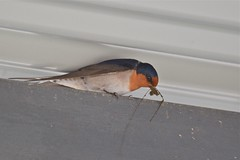 Welcome Swallow ( its time to start the nest )