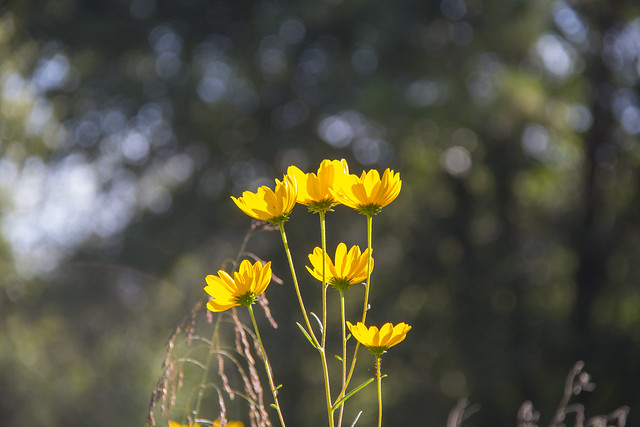 Swamp Sunflowers_48
