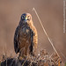 Northern Harrier Calling Out