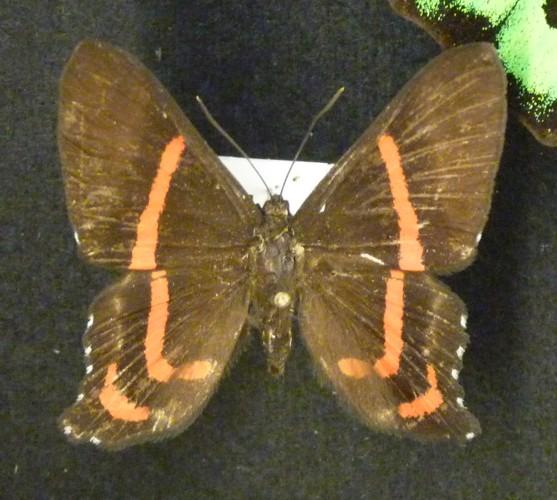 Ancyluris meliboeus 37305435552_da599172dc_o