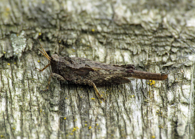 Slender Ground-hopper - Tetrix subulata