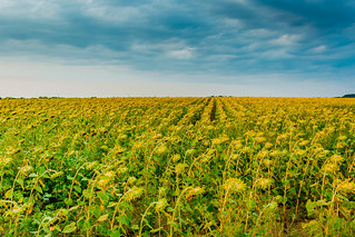 Sunflower field | by wuestenigel