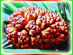 Ripen reddish and fragrant fruit of Pandanus tectorius (Tahitian Screwpine, Thatch/Textile Screwpine, Tourist Pineapple, Hala, Screw Pine, Mengkuang Laut/Duri in Malay), 12 Oct 2017