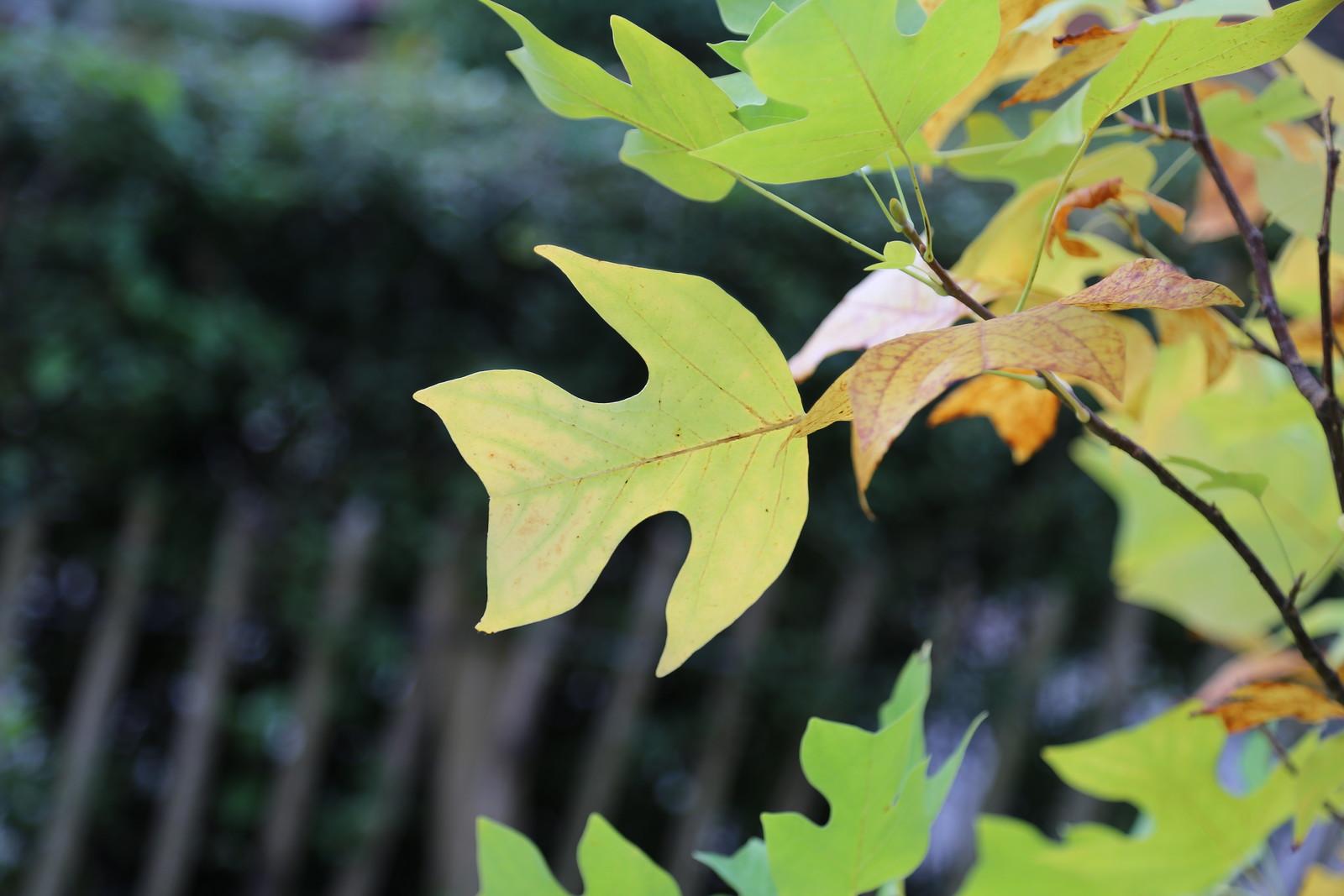 Tulip Tree leaf - Haywards Heath Lirodendron chinensa (or hybrid)