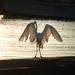 Great egret (aka great white heron) por apmckinlay