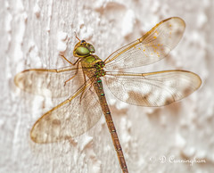 Dragonfly in my Wall