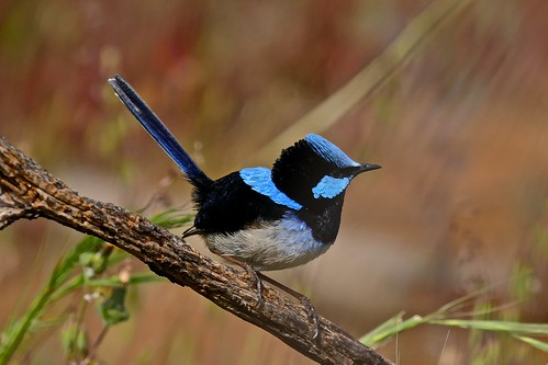 Superb Blue Wren (M)