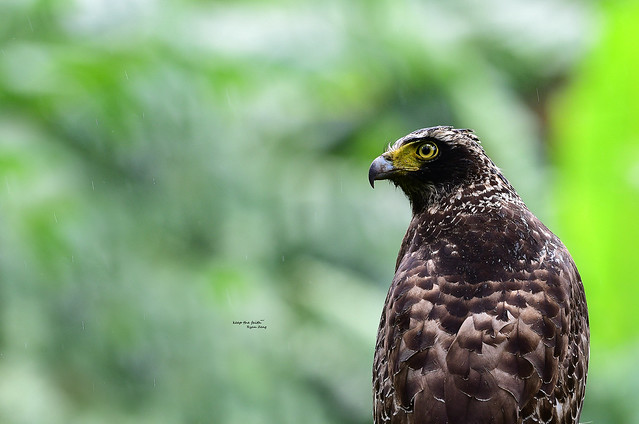 【大冠鷲】Crested Serpent Eagle