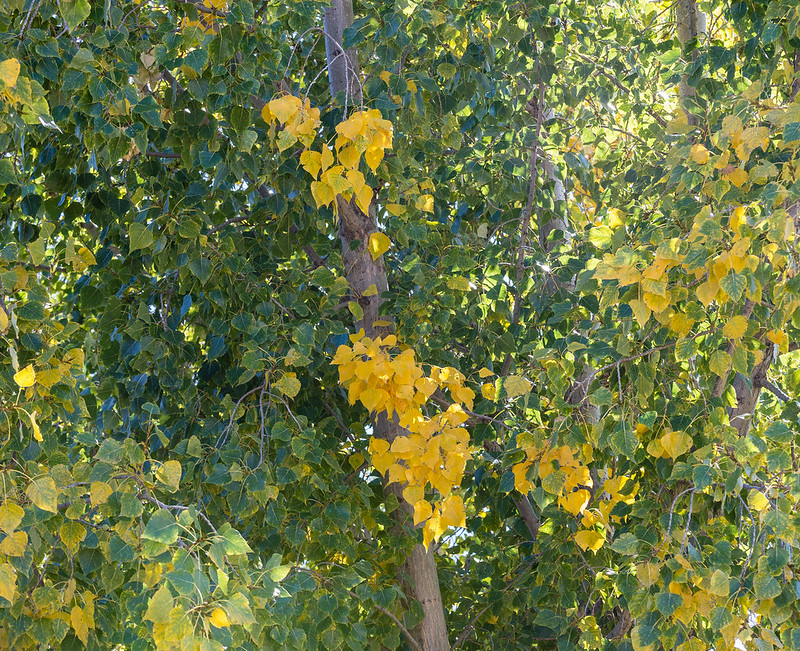 Cottonwood early color