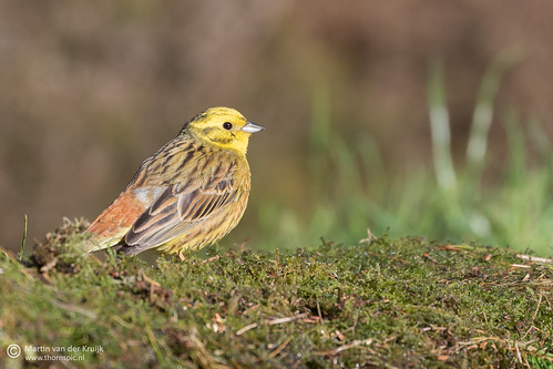 Yellowhammer - Geelgors