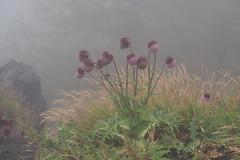 フジアザミ (Cirsium purpuratum)