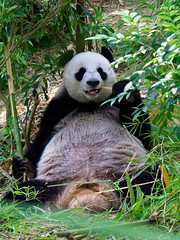 Jia Jia- Giant Panda