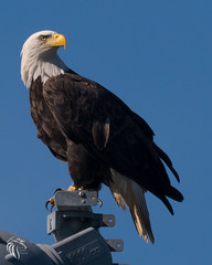 Bald Eagles of the Jersey Shore | 2017 - 88