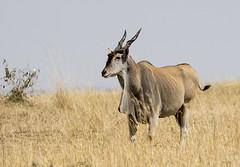 Eland Standing in the Masai Mara