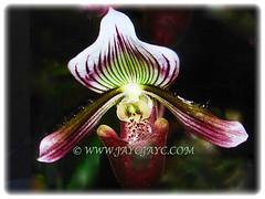 Gorgeous bloom of Paphiopedilum barbatum (Slipper Orchid, Bearded Paphiopedilum, Lady's Slipper) with small raised blackish warts, 23 Oct 2017