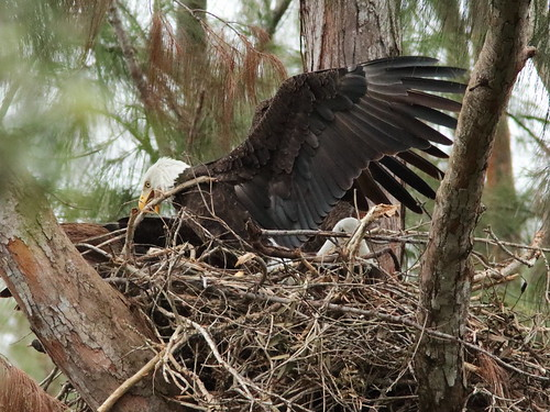 Bald Eagle male Pride arrives 03-20171025