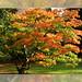 Multicoloured Acer