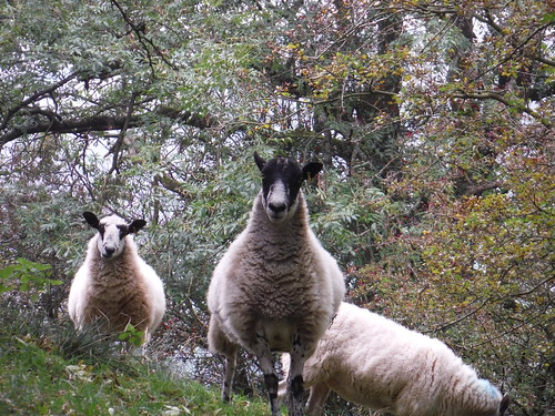 Sheep off Path up Lose Hill from Townhead