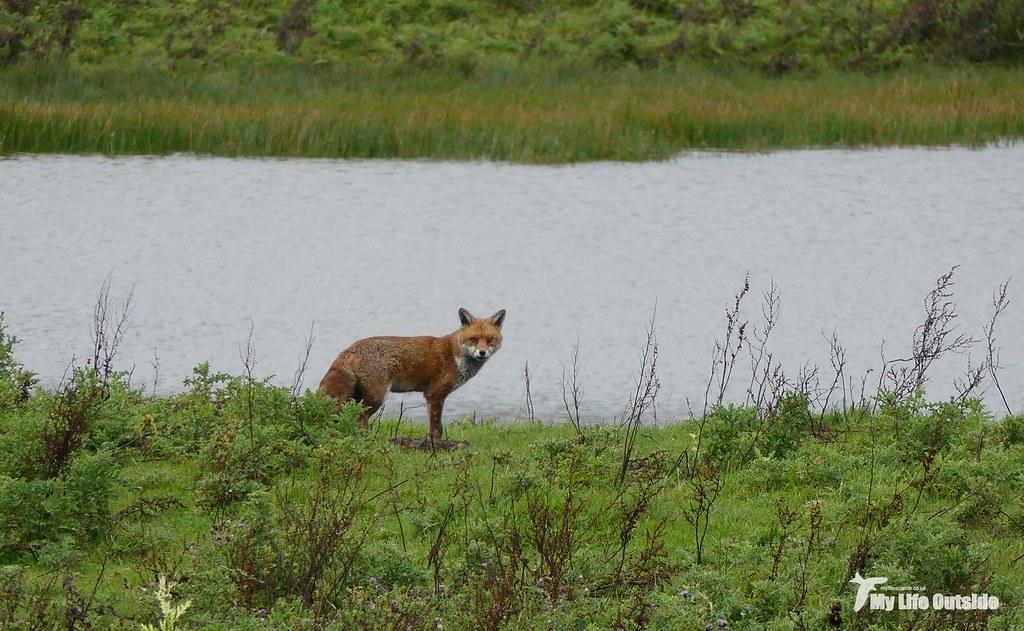 P1120364 - Fox, WWT Llanelli