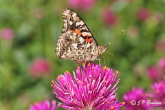 PAINTED LADY BUTTERFLY | PAPILLON BELLE DAME | MONTREAL | QUEBEC | CANADA | 2017