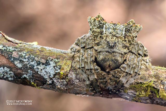 Broad-headed bark spider (Caerostris sp.) - ESC_0320