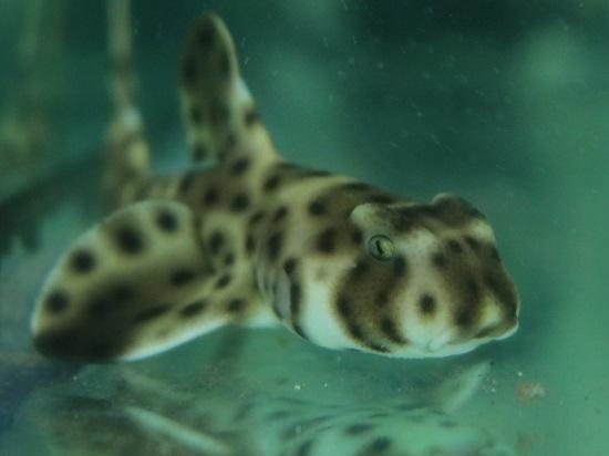2017.10.05 Tiburon cornudo