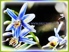 0.6 cm blue flowers of Dianella ensifolia (Umbrella Dracaena, Flax Lily, Common Dianella, Sword-leaf Dracaena, Cerulean Flax-lily, Siak-Siak in Malay) with prominent yellow-orrange anthers, 3 Oct 2017
