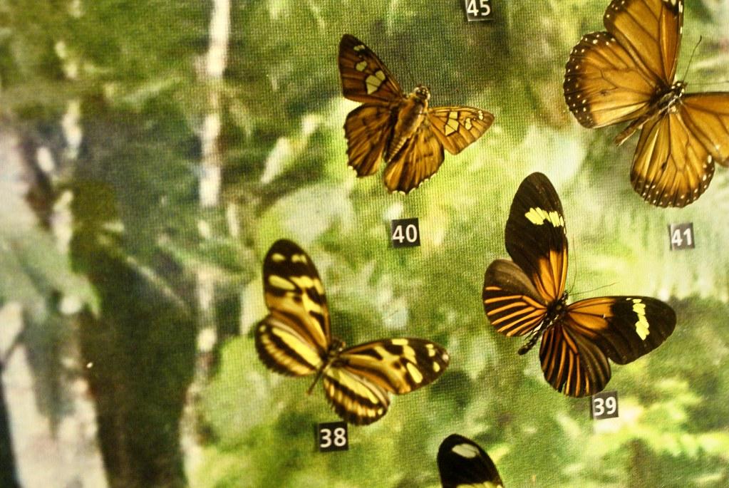 Papillons tropicaux au musée Kelvingrove de Glasgow.