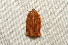 Choristoneura rosaceana (Oblique-banded Leafroller Moth) - Hodges # 3635