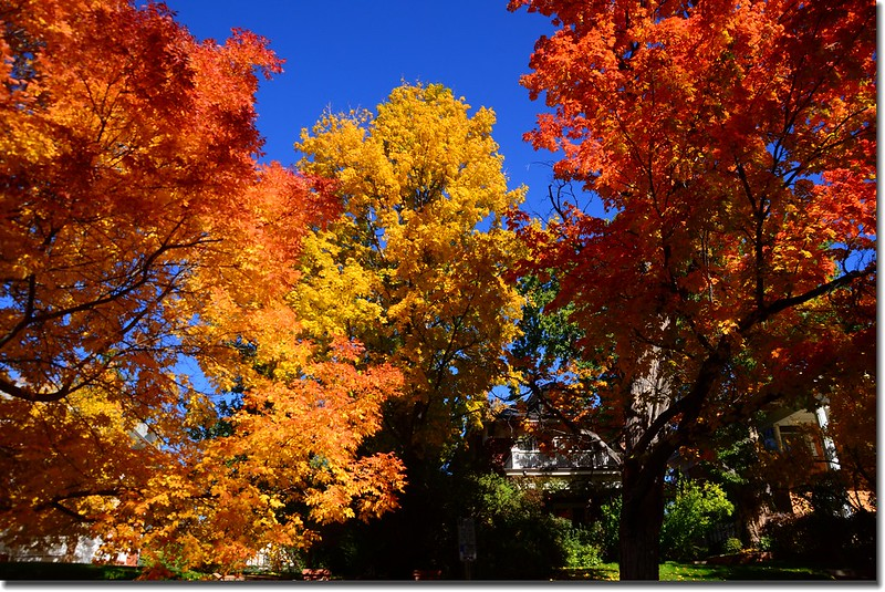 2017 Maple in Fall, Boulder, Colorado  (18)
