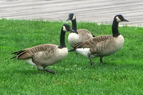 Goose Trio I