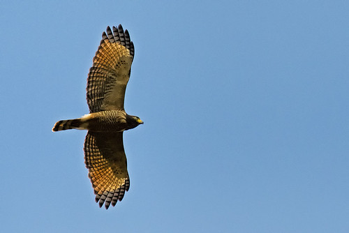 Pantanal: Roadside Hawk
