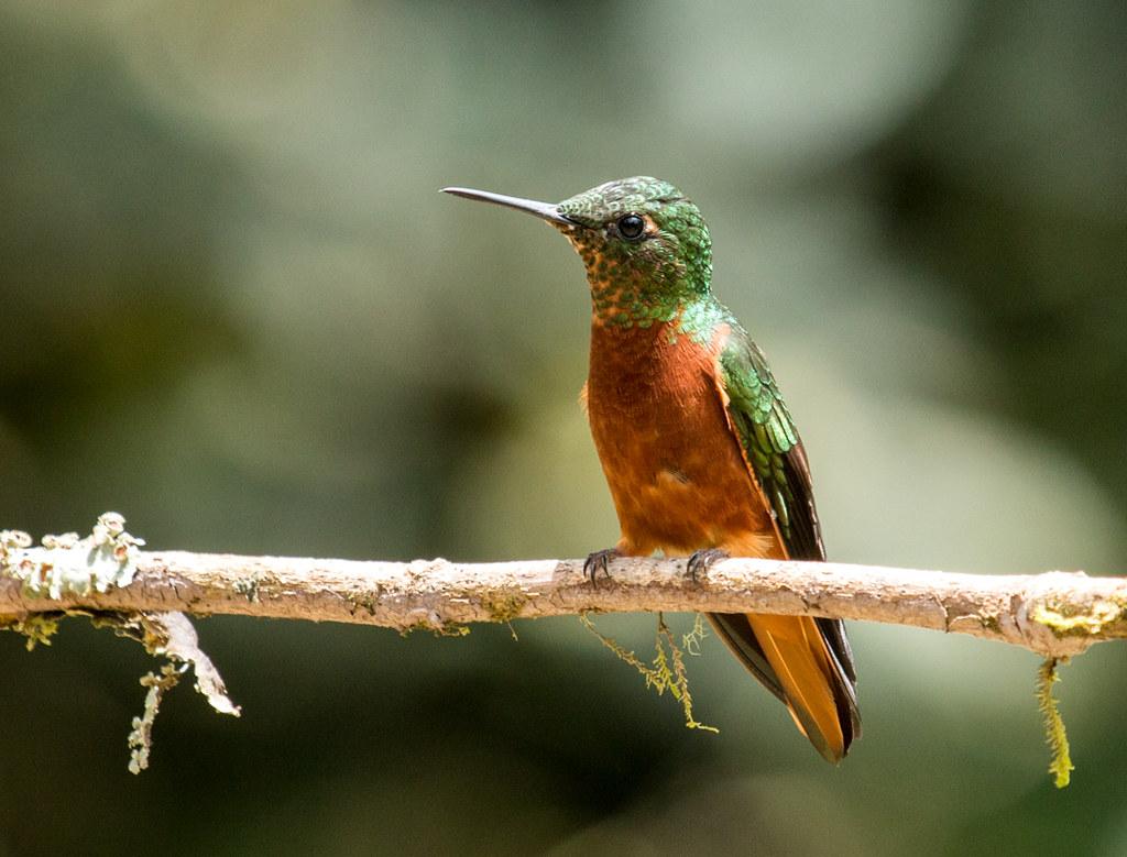 IMG_3578  Chestnut-breasted Coronet_hummingbird