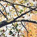 Small photo of Sycamore bark & leaf, late October, Kansas City